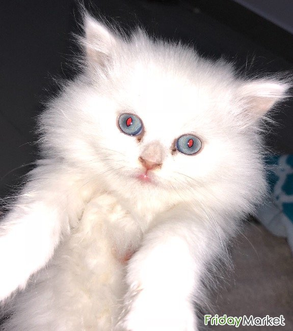 Shiraz Kitty - 3 Months Old - Comes With Necessities Al Qurain Kuwait