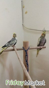 Beautiful Cockatiels For Sale Mangaf Kuwait