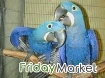 Outstanding Hyancinth Parrots For Sale!!! Kuwait City Kuwait