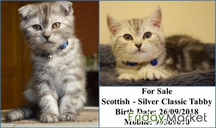 Scottish Silver Classic Tabby For Sale Kuwait City Kuwait